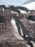 Gentoo penguins brooding Royalty Free Stock Photos