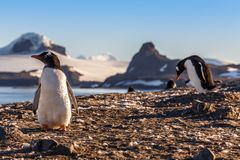 Gentoo penguins chicks enjoing the sun at the Barrientos Island,