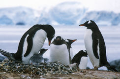 Gentoo penguins and chicks (Pygoscelis papua) at rookery in Paradise Harbor, Antarctica Stock Photography