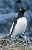 Gentoo penguins and chicks (Pygoscelis papua) at rookery in Paradise Harbor, Antarctica Stock Photos