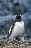 Gentoo penguins and chicks (Pygoscelis papua) at rookery in Paradise Harbor, Antarctica Royalty Free Stock Photography