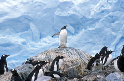 Gentoo penguins and chicks (Pygoscelis papua) at rookery in Paradise Harbor, Antarctica Royalty Free Stock Image