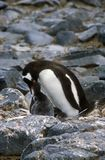 Gentoo penguins and chicks (Pygoscelis papua) at rookery in Paradise Harbor, Antarctica Stock Image