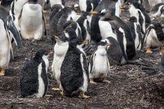 Gentoo Penguins chicks after rain Stock Image