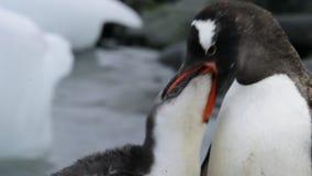 Gentoo penguins chiks απόθεμα βίντεο