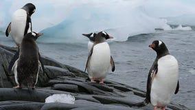 Gentoo penguins chiks stock footage