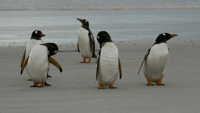 Gentoo Penguins cleaning their plumage stock video