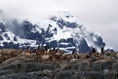 Gentoo penguin colony on a hill, in front of a snow covered mountain Stock Photography