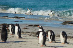 Gentoo Penguins Coming Ashore Stock Photo