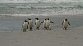 Gentoo Penguins coming from fishing stock video footage