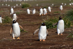 Gentoo Penguins coming home Stock Images