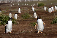 Gentoo Penguins coming home Stock Photography