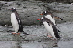 Gentoo penguins coming out of the water, Antarctica stock photos