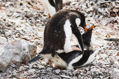 Gentoo Penguins couple mating on rocks Stock Photos
