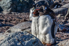 Gentoo penguins couple standing on the rocks, Cuverville Island, Royalty Free Stock Photos