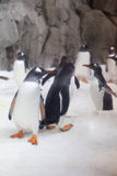 Gentoo penguins Stock Photos