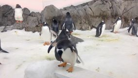 Gentoo penguins Royalty Free Stock Image
