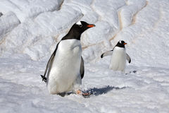 Gentoo Penguins - Danko Island - Antarctica Royalty Free Stock Photo