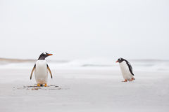Gentoo Penguins on a deserted white sand beach. Falkland Islands Royalty Free Stock Photos