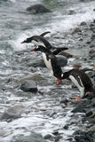 Gentoo penguins, diving. Into Southern Ocean, light snow storm,[Pygoscelis papua]Cuverville Island,Antarctica Stock Images