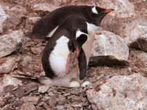 Gentoo penguins with eggs. In Antarctica royalty free stock photo