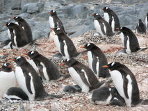 Gentoo Penguins facing away from the elements Royalty Free Stock Image