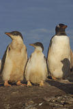 Gentoo Penguins - Falkland Islands Royalty Free Stock Photography