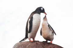 Gentoo penguins feeding Royalty Free Stock Photos