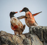 Gentoo Penguins fighting, Antarctica Royalty Free Stock Images