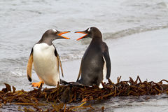 Gentoo Penguins fighting Stock Images