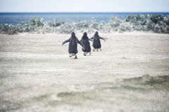 Gentoo penguins going for a swim at Volunteer Point stock photography