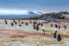 Gentoo penguins going swimming, at Peterman Island Stock Photo