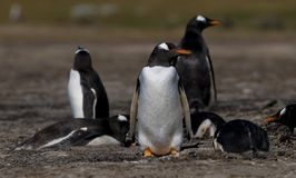 Gentoo Penguins on Guard Royalty Free Stock Photos