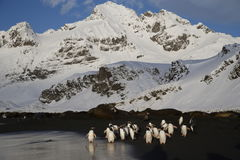 Gentoo penguins head into the sea on South Georgia Island Stock Image