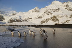 Gentoo penguins head into the sea on South Georgia Island Royalty Free Stock Photography