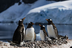 Gentoo Penguins holding their heads up Royalty Free Stock Photo