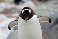 Gentoo Penguins Royalty Free Stock Images