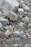Gentoo penguins,hopping over rocks to the beach, Stock Image