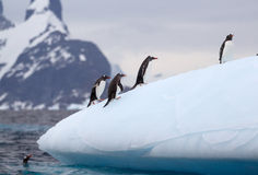 Gentoo Penguins on Iceberg Stock Images