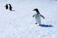Gentoo Penguins on an iceberg Royalty Free Stock Photos