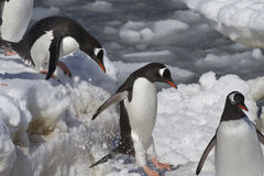 Gentoo penguins are  jump from big ice floe to ice Royalty Free Stock Images