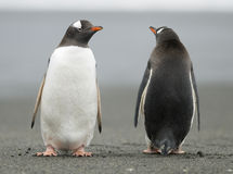 Gentoo Penguins keeping watch. Two Gentoo Penguins face in opposite directions on a deserted beach, as if standing guard Royalty Free Stock Image