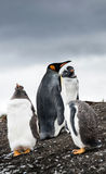 Gentoo Penguins and King Penguin Stock Photos