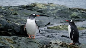 Gentoo Penguins in Antarctica. royalty free stock photography
