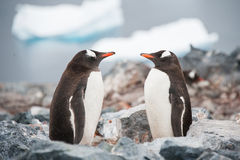 Gentoo penguins looking in the mirror Antarctica Stock Photos