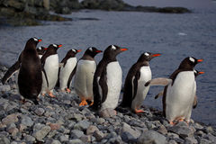 Gentoo penguins looking at the sea, Antarctica Royalty Free Stock Photo