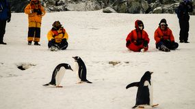 Gentoo Penguins Meeting People In Antarctica On Cuverville Island. Royalty Free Stock Photos