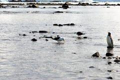 Gentoo Penguins Mikkelson Harbor, Antarctica. Gentoo penguins and birds in the water. Mikkelson Harbor, Antarctica. Dec, 2016 Royalty Free Stock Photos
