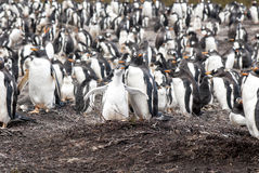 Gentoo Penguins - Mother with chick Royalty Free Stock Photos