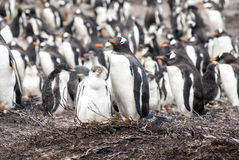 Gentoo Penguins - Mother with chick Stock Image
